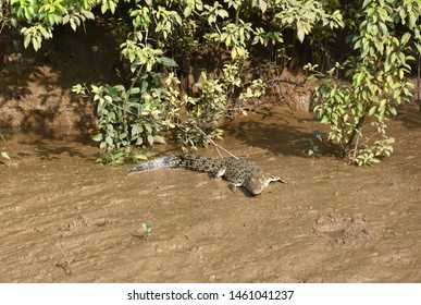 Saltwater Crocodile of Mangrove Forest