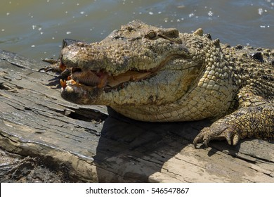 Saltwater crocodile with its mouth open