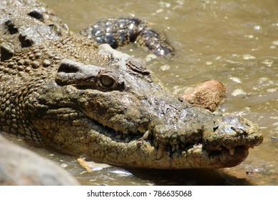 Saltwater Crocodile in North Queensland, Australia