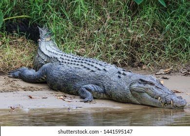 Saltwater Crocodile, in Queensland, Australia