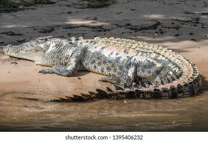 Saltwater crocodile that has been burned with skin discolouration by the banks of the Mary River in Kakadu, Australia