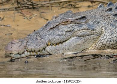 Saltwater or estuarine crocodile (Crocodylus porosus) on the edge of the Daintree River in Far North Queensland, Australia.