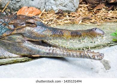 Saltwater or Estuarine Crocodile (crocodylus porosus) on concrete texture