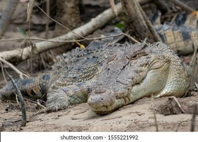 Saltwater or estuarine crocodile (Crocodylus porosus) on the bank of the Daintree River, Queensland, Australia.