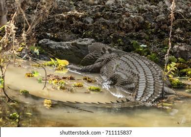 Saltwater or Estuarine Crocodile (Crocodylus porosus) resting on riverbank at Yellow River Wetlands, Kakadu National Park, Northern Territory, Australia