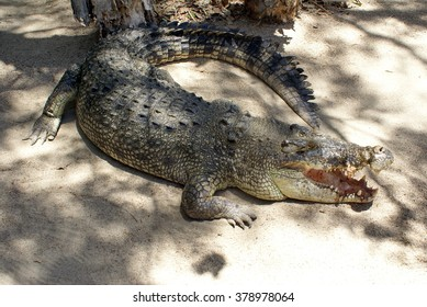 Saltwater or estuarine crocodile in dappled light in a park in Port Douglas, Australia