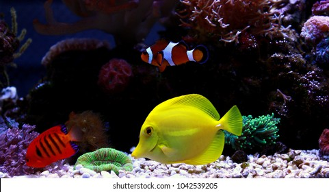 Saltwater fishes in reef tank