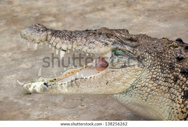 a saltwater  indopacific crocodile