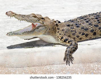 a saltwater  indopacific crocodile in an aggressive