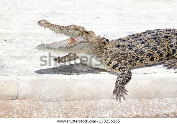 a saltwater  indopacific crocodile in a hostile pose