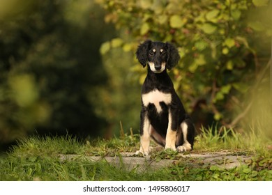Saluki black and tan persian sighthound puppy outdoor in summer