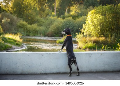 Saluki black and tan persian sighthound puppy outdoor watching the landscape