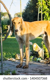 Saluki dog with dirty paws after digging