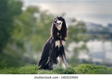 Saluki dog. Outdoor nature photography