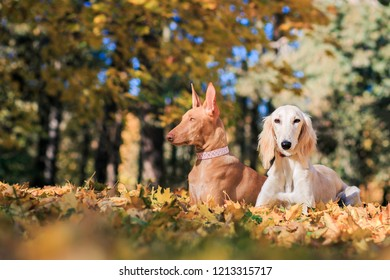 Saluki dog and pharaon dog posing in beautiful autumn park. Two friends together.