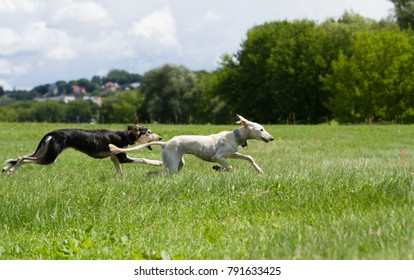 Saluki dog playing in the park. Two dogs in action.