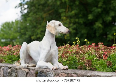 Saluki dog posing outside in the beautiful city park. Greyhound young puppy.