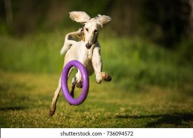 saluki dog sighthound running on summer grass