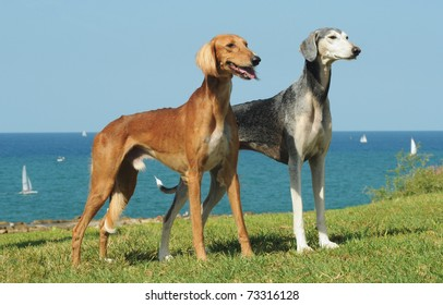 Saluki dogs on grass with sea in the background