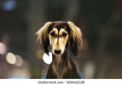Saluki head study persian hound