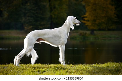 Saluki, Persian Greyhound autumn in a beautiful breed rack stands on the grass, in the background of the lake and forest.