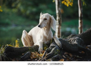 Saluki, Persian Greyhound lies, put paws on a tree, on an autumn background, bright colors of autumn, in the background forest, trees, lake
