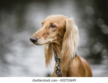 Saluki (persian greyhound) portrait on blurred background