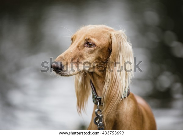 Saluki Persian Greyhound Portrait On Blurred Stock Photo (Edit Now