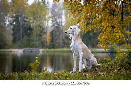 Saluki, Persian Greyhound sitting, turned his head in the autumn background, bright colors of autumn, in the background forest, trees, lake
