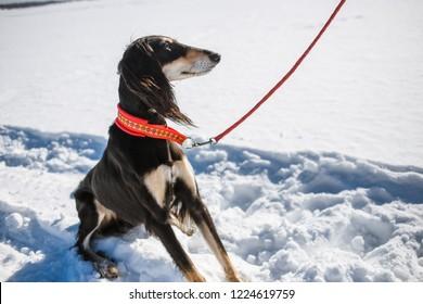 Saluki, Persian greyhound in winter park. Portrait of beautiful dark haired dog greyhound breed at sunny winter day