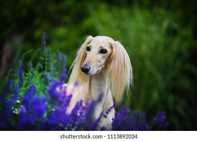Saluki portrait next to purple lavender flowers