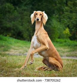 Saluki sighthound purebred dog