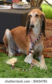 saluki waiting in front of a arab tent