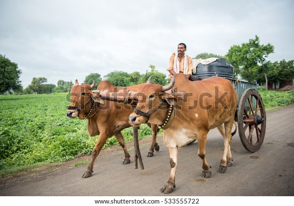SALUNKWADI, INDIA - August 12, 2016: Rural people daily lifestyle, Indian farmer riding bullock cart, rural village, Salunkwadi, Ambajogai, Beed, Maharashtra, India.
