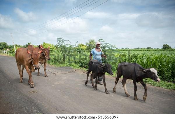 SALUNKWADI, INDIA - August 12, 2016: Indian farmer taking his oxen, cow and buffalo to farm in rural village Salunkwadi, Ambajogai, Beed, Maharashtra, India, South East Asia.