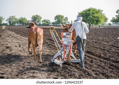 SALUNKWADI, INDIA - June 19, 2017: Farmer sowing seeds with seed cum fertilizer drill machine works with bulls in rural village Salunkwadi, Ambajogai, Beed, Maharashtra, India, Southeast Asia