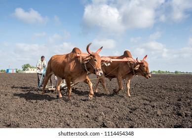 SALUNKWADI, INDIA - June 20, 2017: Farmer sowing seeds with traditional way in rural village Salunkwadi, Ambajogai, Beed, Maharashtra, India, Southeast Asia.