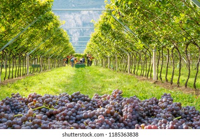 Salurn, Bozen - South Tyrol, Italy - september 7, 2018: grape harvest of Pinot grigio (pinot noir) , red italian wine, on the vineyards of the community farm South Tyrol, Italy