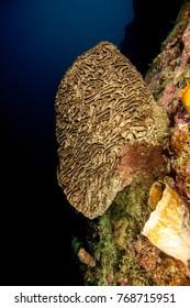 Salvador Dali Sponge, Petrosia lignosa