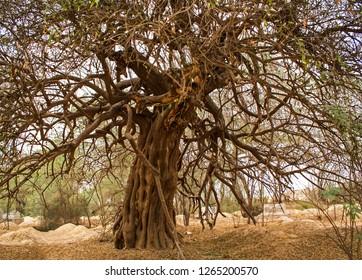 A Salvadora persica tree local name (Peelo) in the graveyard