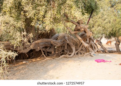 Salvadora Persica trees in the Thar desert