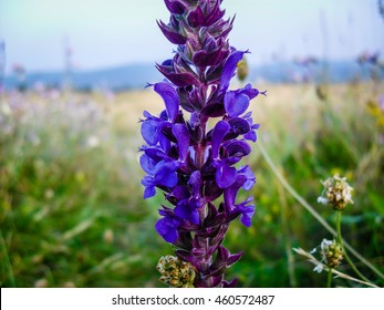 Salvia flowers images stock photos vectors shutterstock salvia blue wild flower forest evening close up 2016 mightylinksfo