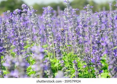 Salvia farinacea Benth (Salvia)