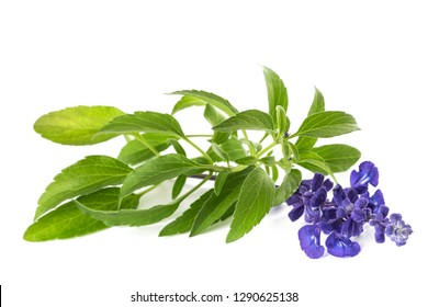 Salvia farinacea with flowers isolated on white background