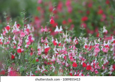 "Salvia greggii ""Hot Lips"" with bicolor red - white flowers,  Salvia greggii ""Icing Sugar"""