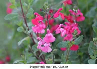 """Salvia greggii """"Pink"""" Pink Autumn Sage, Salvia microphylla """"Pink Blush"""""""