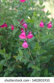 "Salvia greggii with pink flowers, Salvia microphylla ""Pink Blush"""