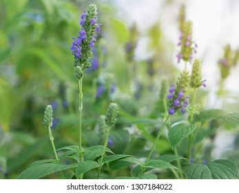 Salvia hispanica flowers, known as Chia, a healthy food plant with purple flowers from the mint family, Lamiaceae growing in garden