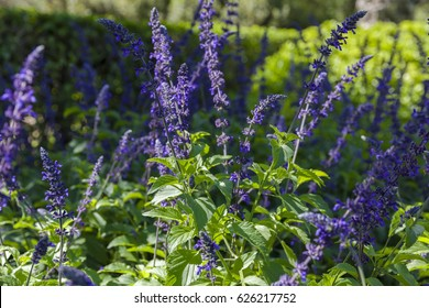 Salvia indigo spires purple full blossom with lush leaves