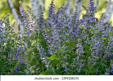 Salvia miltiorrhiza, also known as red sage, Chinese sage, tan shen, or danshen, is a perennial plant in the genus Salvia, highly valued for its roots in traditional Chinese medicine.
